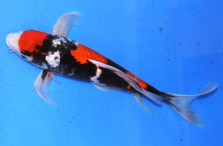 Longfin Showa 40cm Züchter Suda